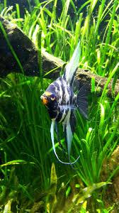 Types Of Aquarium Fish 11 Types Of Angelfish Color Variations