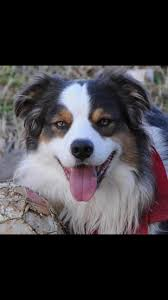 australian shepherd service dog service dog on tour with band rescued from bus crash woofipedia