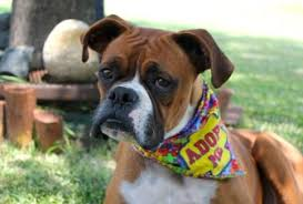 rescue a boxer dog legacy boxer rescue serving the dallas ft worth areas of texas