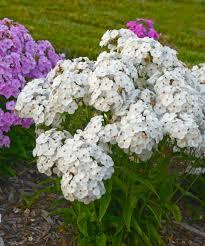 phlox flower opening act white phlox hybrid proven winners