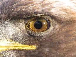 Surface Anatomy Eye Eagle Eye Wikipedia