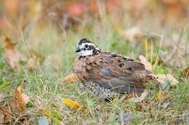 great backyard bird count educational webinar