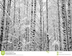 snow birch trees black and white stock photo image 53100844