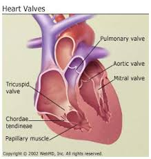 Anatomy Of Heart Valve Heart Valve Disease Get Facts On Symptoms And Treatment