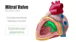 Heart Anatomy And Function Heart Valve Anatomy Gallery Learn Human Anatomy Image