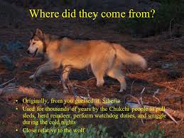 the siberian husky their path to domestication where did they