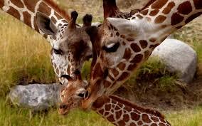baby giraffes wallpaper giraffe