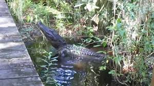 Alligators In Georgia Map Alligator Bellowing In The Okefenokee Swamp 10 6 14 Youtube