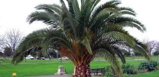 sylvester palm tree sale northeast florida s tree source jacksonville jacksonville