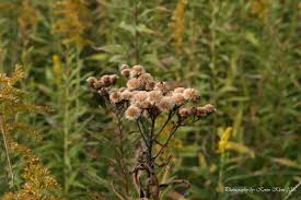 native plants in illinois iron weed