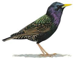cedar waxwing audubon field guide