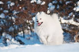 standard american eskimo dog vs samoyed who needs reindeer 3 real life sled dogs american kennel club