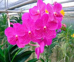 vanda orchids orchid vanda orchid care