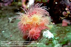 anemone the marine detective