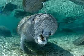 pictures of a 20 photos of manatees doing manatee things and being