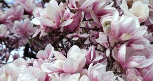 magnolia flowers louisiana state flower the magnolia proflowers
