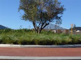 planting native grasses poa is a tussock grass with arching blue foliage