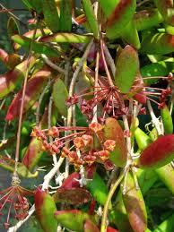 hoya endauensis from uluendau peninsular malaysia flowers