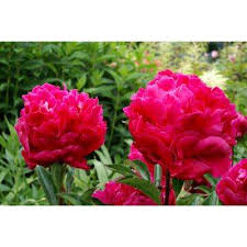 peonies for sale peony flower bulbs garden plants flowers the home depot