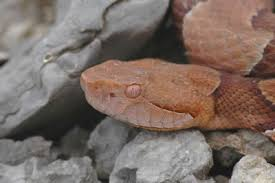 copperhead color variations depending