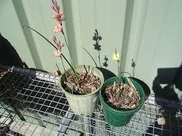 diuris corymbosa common donkey orchid diuris u2013 nossa