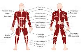 Human Body Muscles Images Muscle Chart With Accurate Description Of The Most Important