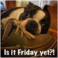 Boston Terrier Meme - dog days is it friday yet live life like a boston terrier boston