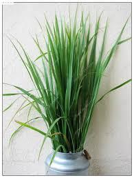 310pcs bag india lemon grass seeds outdoor organic bonsai