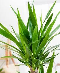 Yucca Wohnzimmer Kaufen Sie Jetzt Zimmerpflanze Riesen Palmlilie Bakker Com