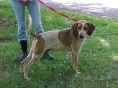 bluetick coonhound west virginia i found sydney very sweet on http www jennisonbeautysupply