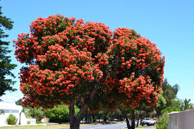 ornamental trees nowathome