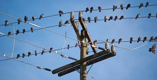 biology are birds magnetically repelled from high voltage power