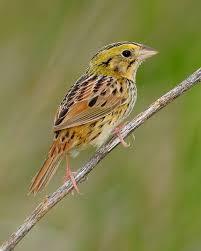 Ontario Backyard Birds Henslow U0027s Sparrow Whatbird Com