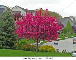 best 25 flowering crabapple tree ideas on flowering