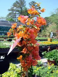 Bougainvillea Topiary - black jack fig garden supply company
