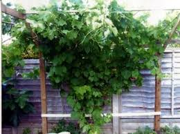 How To Grow Grapes In Your Backyard 36 best gorgeous grapevines images on pinterest grape vines