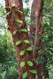 Tropical Climbing Plant - creeper plant climbing up a tree stock photo image 53723034