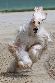 afghan hound gif 82 best afghan hounds images on pinterest afghans afghan hound