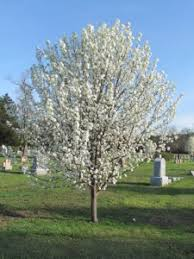 callery pears becoming extremely invasive dig it