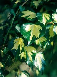 climbing plants vines and flowers for gardens arbors trellis hgtv
