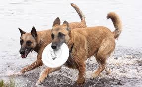 belgian sheepdog alberta spirit ridge brags