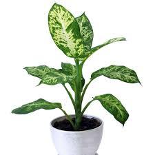 best low light indoor trees dumb cane dieffenbachia house plant pinterest low lights