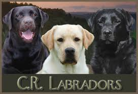 labrador u0027s english labrador breeder breed boarding