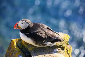matthias hauser fotografie puffins cute birds in iceland
