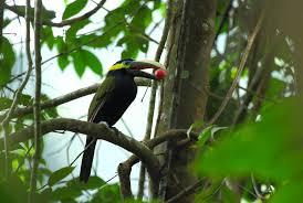 Canopy Birds by Seed Dispersal Canopy Watch International