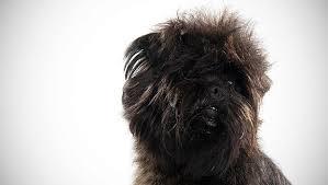 affenpinscher vs yorkshire terrier affenpinscher dog breed selector animal planet