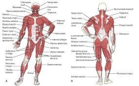 Picture Diagram Of The Human Body Muscular Diagram Of The Human Body Muscle Body Anatomy Gizatk