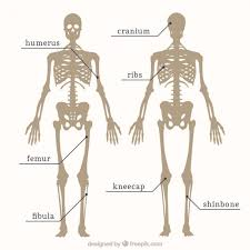 Human Anatomy Images Free Download Parts Of Skeleton Vector Free Download