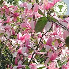 magnolia wars buy wars magnolia buy pink magnolia