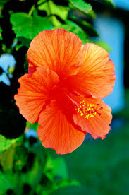 Which State Has A Hibiscus by Can Hibiscus Tea Be Made From Any Hibiscus Plants Livestrong Com